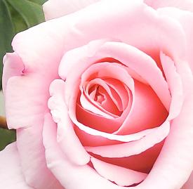 の 花 言葉 薔薇 ピンク