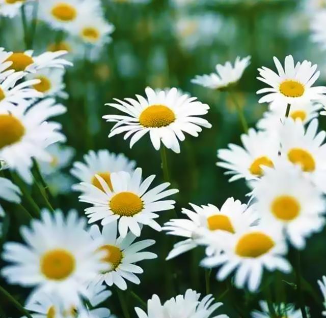 ヒナギク(雛菊) 花言葉と誕生花~想いを伝える花言葉:スマートマイズ