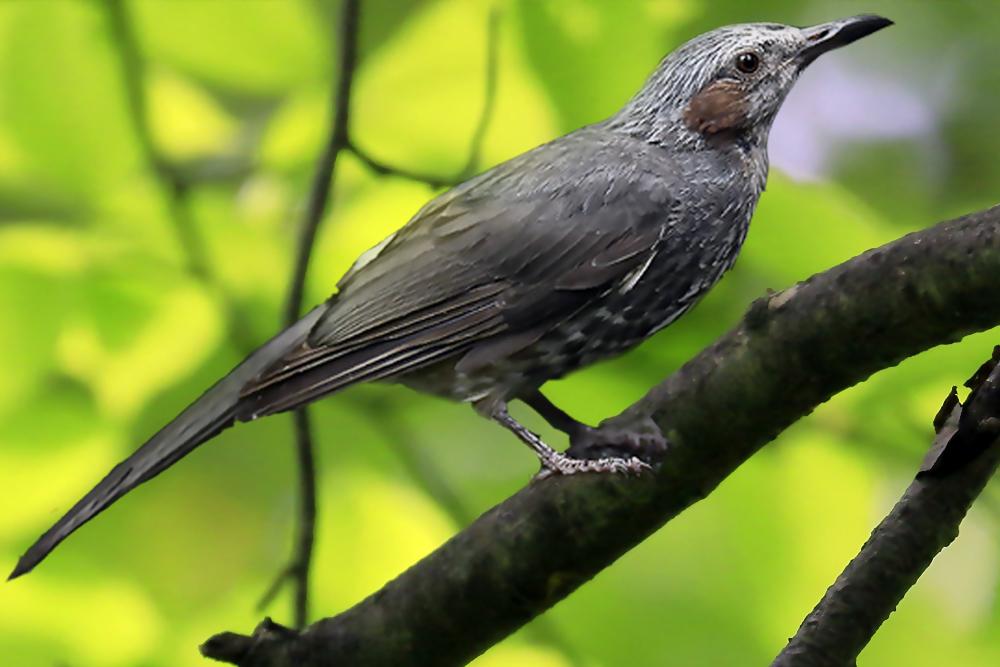 ヒヨドリ の 鳴き声 ヒヨドリの特徴は?生態や分布、鳴き声は? - pepy